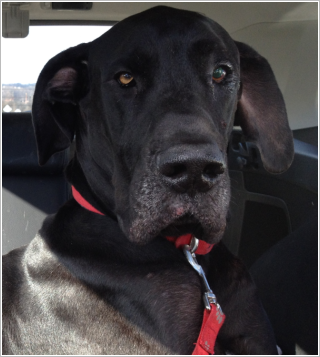 Trooper in the car after getting checkup on his cherry eye (Jan 12)